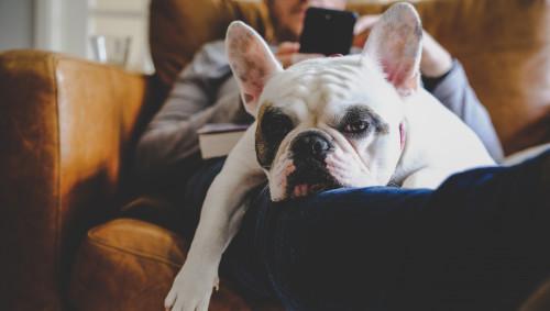 Ein müder Hund mit Augenringe liegt auf dem Sofa