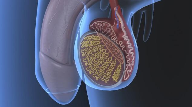 Das Bild zeigt die Grafik eines Hodens und Penis