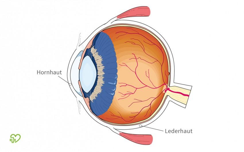 Der Aufbau des Auges im Querschnitt. Gekennzeichnet ist die äußere Augenhaut, bestehend aus Hornhaut und Lederhaut.