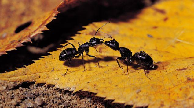 Das Bild zeigt zwei Ameisen auf einem Laubblatt.