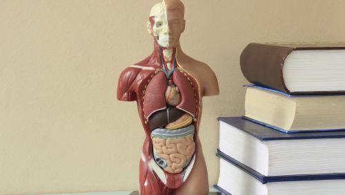Das Modell eines Menschen.