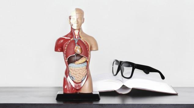 Ein Anatomie-Modell des Menschen.