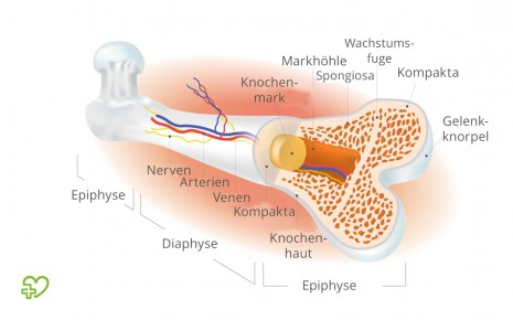Illustration Anatomie Oberschenkelknochen (Femur).