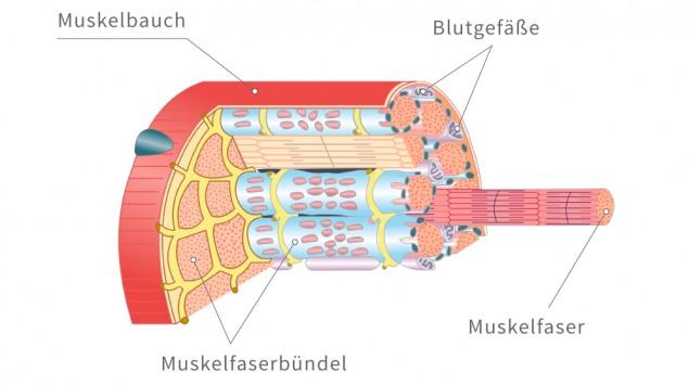 Das Bild zeigt den Aufbau eines Muskel.
