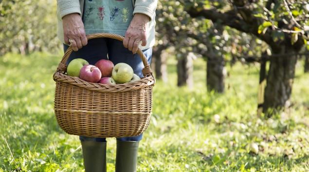 Eine Frau steht mit einem Korb voller Äpfel in einer Obstbaumplantage.