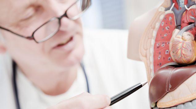 Das Bild zeigt einen Arzt, der auf die Leber eines anatomischen Modells zeigt.