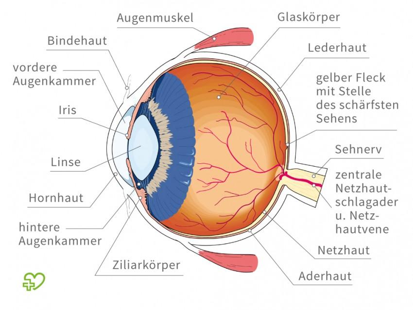 Aufbau Des Menschlichen Auge