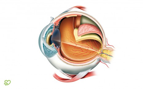 Auf dem Bild ist die Anatomie des Auges grafisch dargestellt. Zu den Augen gehören die Augenmuskeln, der Augapfel und auch der Sehnerv.