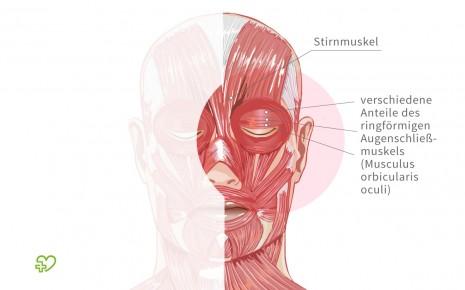 Illustration: Darstellung der Augenmuskulatur
