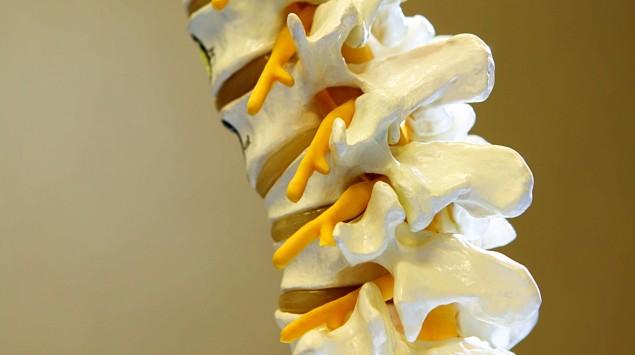 Das Bild zeigt das Modell einer Wirbelsäule.