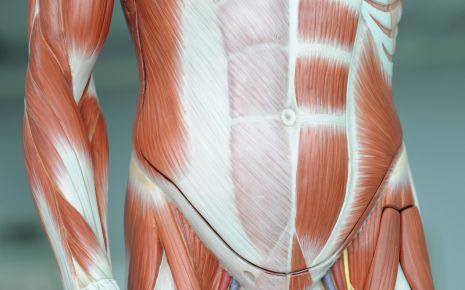 Muskeln: Bizeps, Trizeps & Co. Bauchmuskeln: Seitliche Bauchmuskeln ...