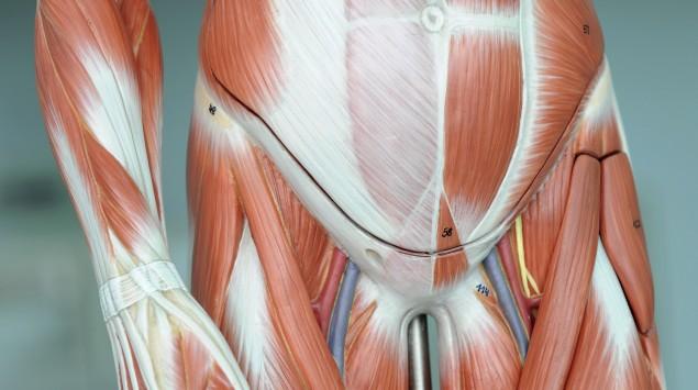 Grafische Darstellung der Bauchmuskeln