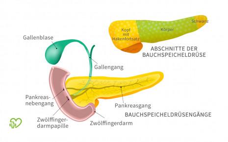 Illustration: Anatomie der Bauchspeicheldrüse
