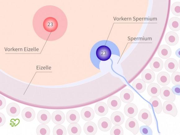 wie lange braucht sperma zur befruchtung