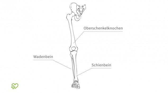 Illustation: Oberschenkelknochen, Wadenbein und Schienbein