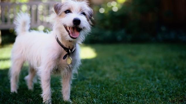 Man sieht einen Jack Russell Terrier auf einer Wiese.