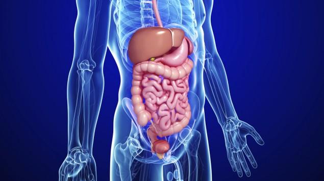 Man sieht die schematische Darstellung von Organen des Bauchraums.