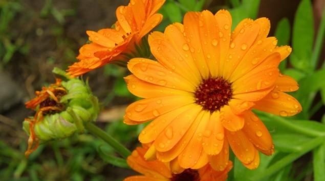 Das Bild zeigt eine orangene Ringelblume.