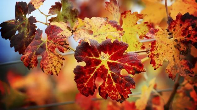 Rote Weinblätter.