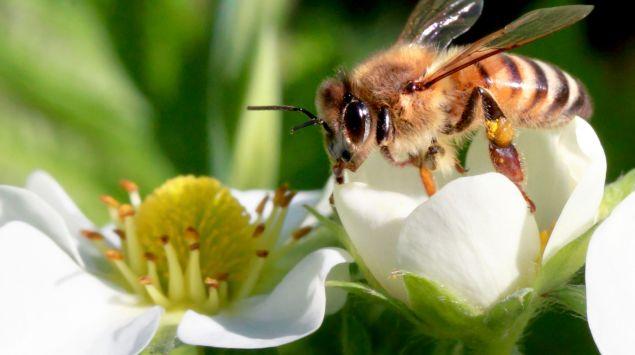 Das Bild zeigt eine Biene auf einer Blume.