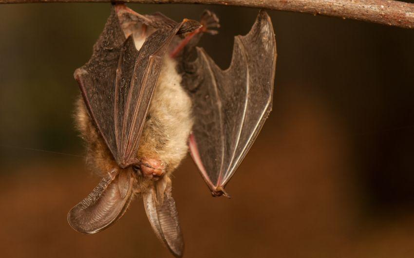 Eine Fledermaus der Art Braunes Langohr hängt an einem Ast.