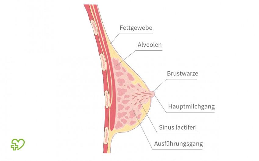 Schematische Darstellung einer Brust