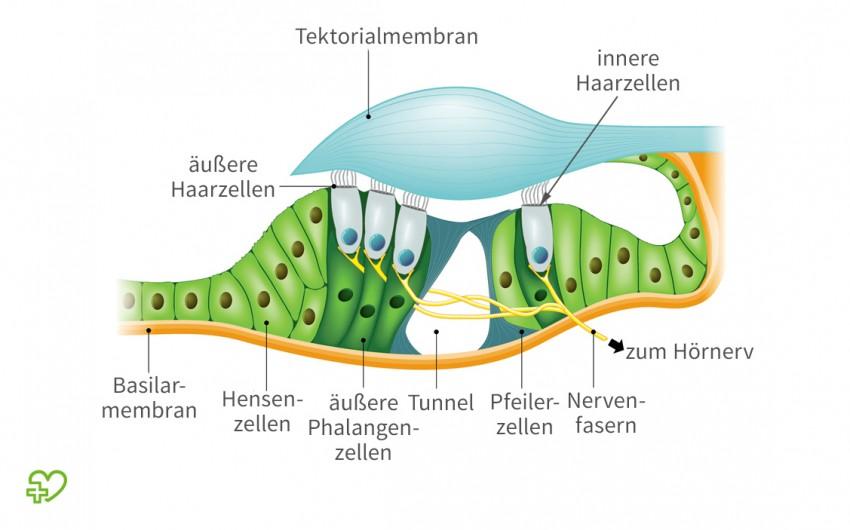 Grafische Darstellung des Corti-Organs