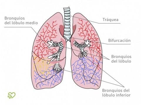Anatomía del pulmón - Onmeda.es