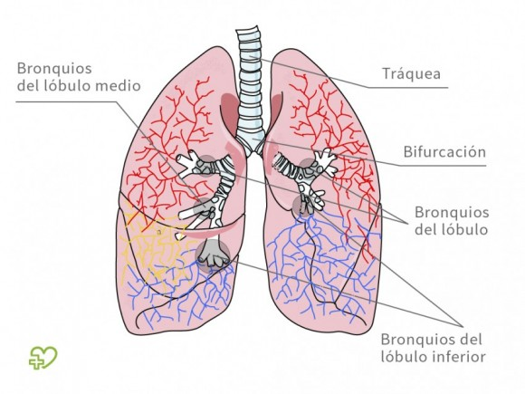 external image anatomia-bronquios-580x435.jpg