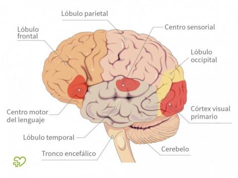 Anatomía del cerebro Estructura del cerebro - Onmeda.es