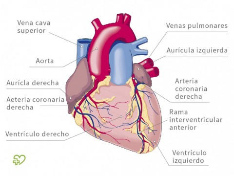 Del y circulacion sus partes corazon