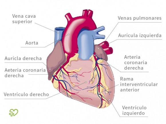 Histológicamente en el corazón se distinguen tres capas de ...
