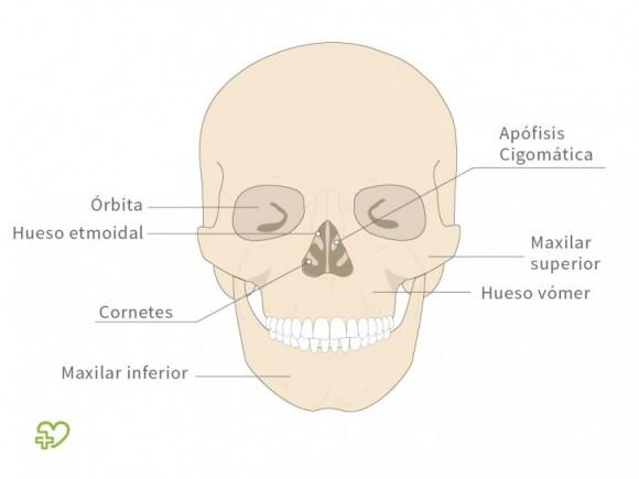 El esqueleto El cráneo: El viscerocráneo, El viscerocráneo - Onmeda.es