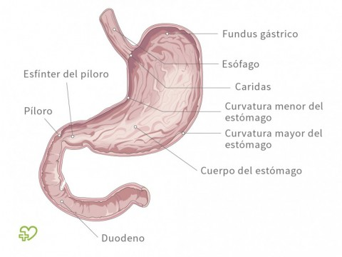 El estómago Estructura - Onmeda.es
