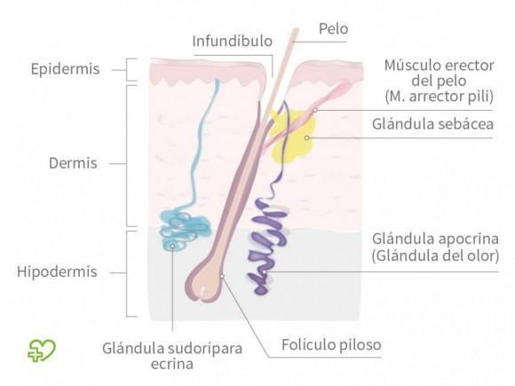 Anatomía de las glándulas sudoríparas Anatomía de las glándulas ...