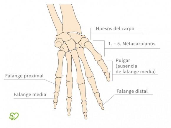 El esqueleto El brazo: El brazo, El antebrazo - Onmeda.es