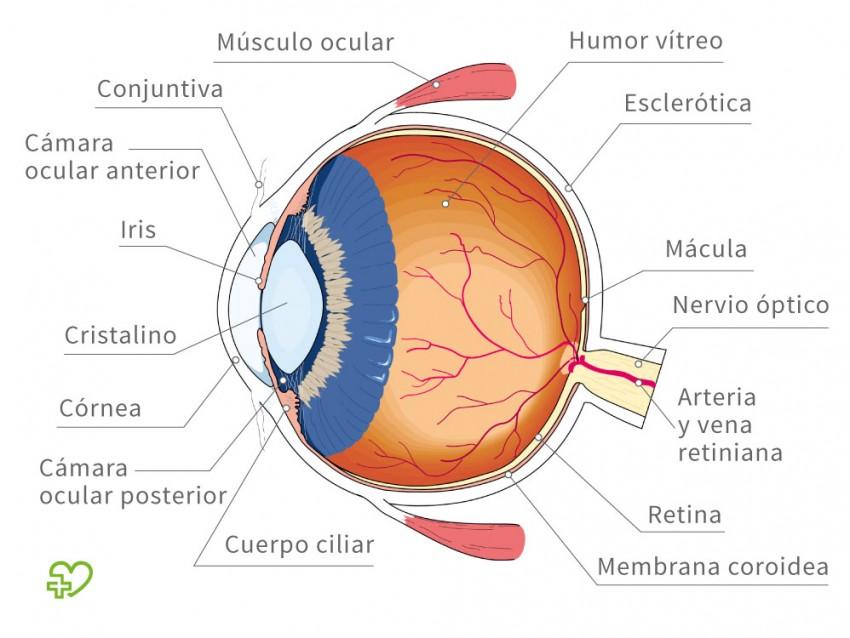 Anatomía del ojo Las estructuras de protección del ojo: Párpados ...