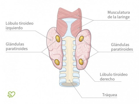 Tiroides (glándula tiroidea) Las glándulas paratiroides ...