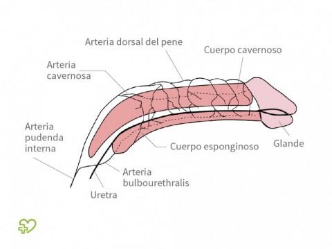 Anatomía masculina: órganos sexuales masculinos Los órganos sexuales ...