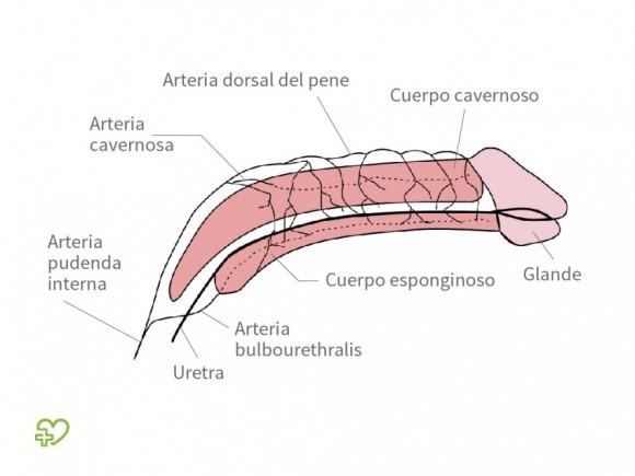 enciclopedia del pene)