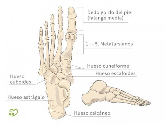 El esqueleto Los pies - Onmeda.es