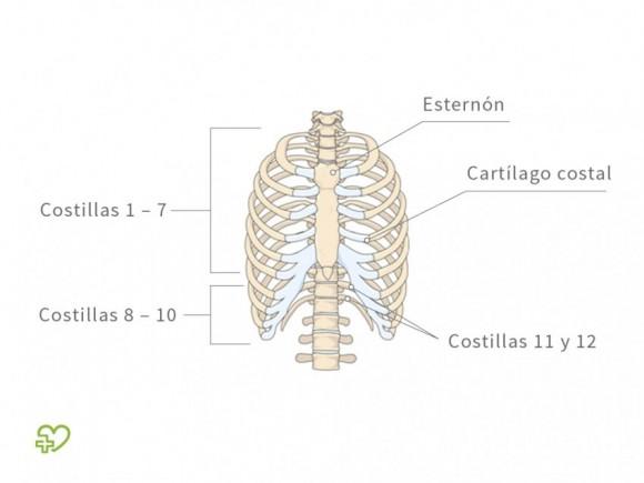El esqueleto El tronco - Onmeda.es