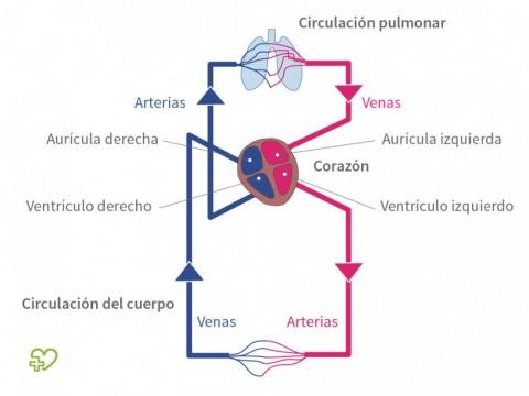 Anatomía del corazón - Onmeda.es