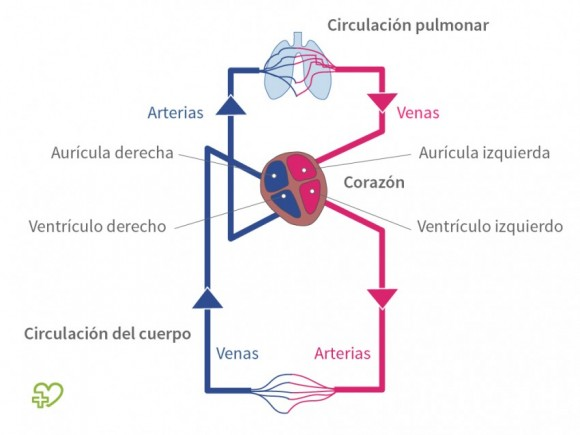De corazón a y través diagrama el sanguíneo del flujo pulmones los cuerpo del