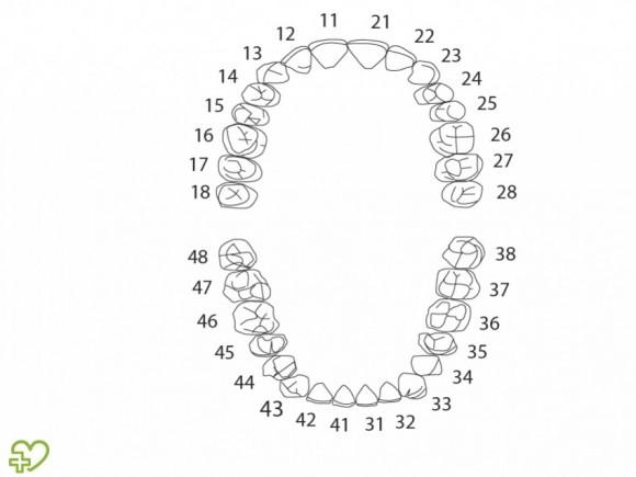 Anatoma de los dientes  Esmalte dental Dentina Cemento Pulpa