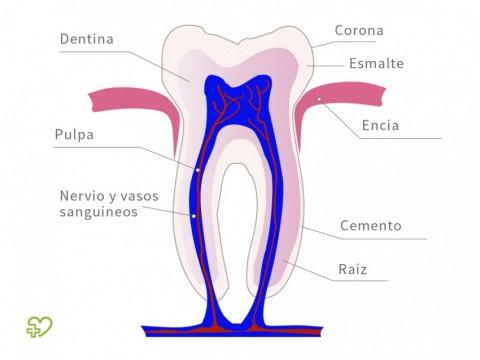 Anatomía de los dientes : Esmalte dental, Dentina, Cemento, Pulpa ...