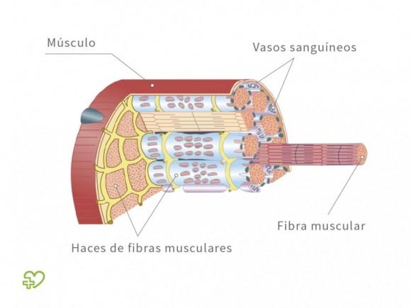Rotura fibrilar Definición: Anatomía - Onmeda.es