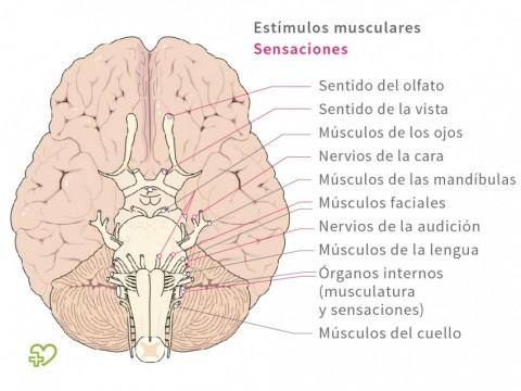 Anatomía Del Cerebro Onmeda Es