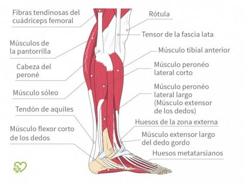 Rotura del tendón de Aquiles Definición: Tendón de Aquiles ...