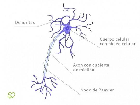 Anatoma del cerebro Las clulas del cerebro  Onmedaes